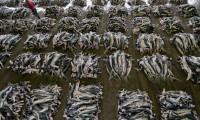 Planta de procesamiento de tiburones en Kesennuma (Japón)
