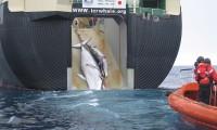 Japón insiste en seguir cazando ballenas a pesar de la prohibición de la Corte Internacional de Justicia.