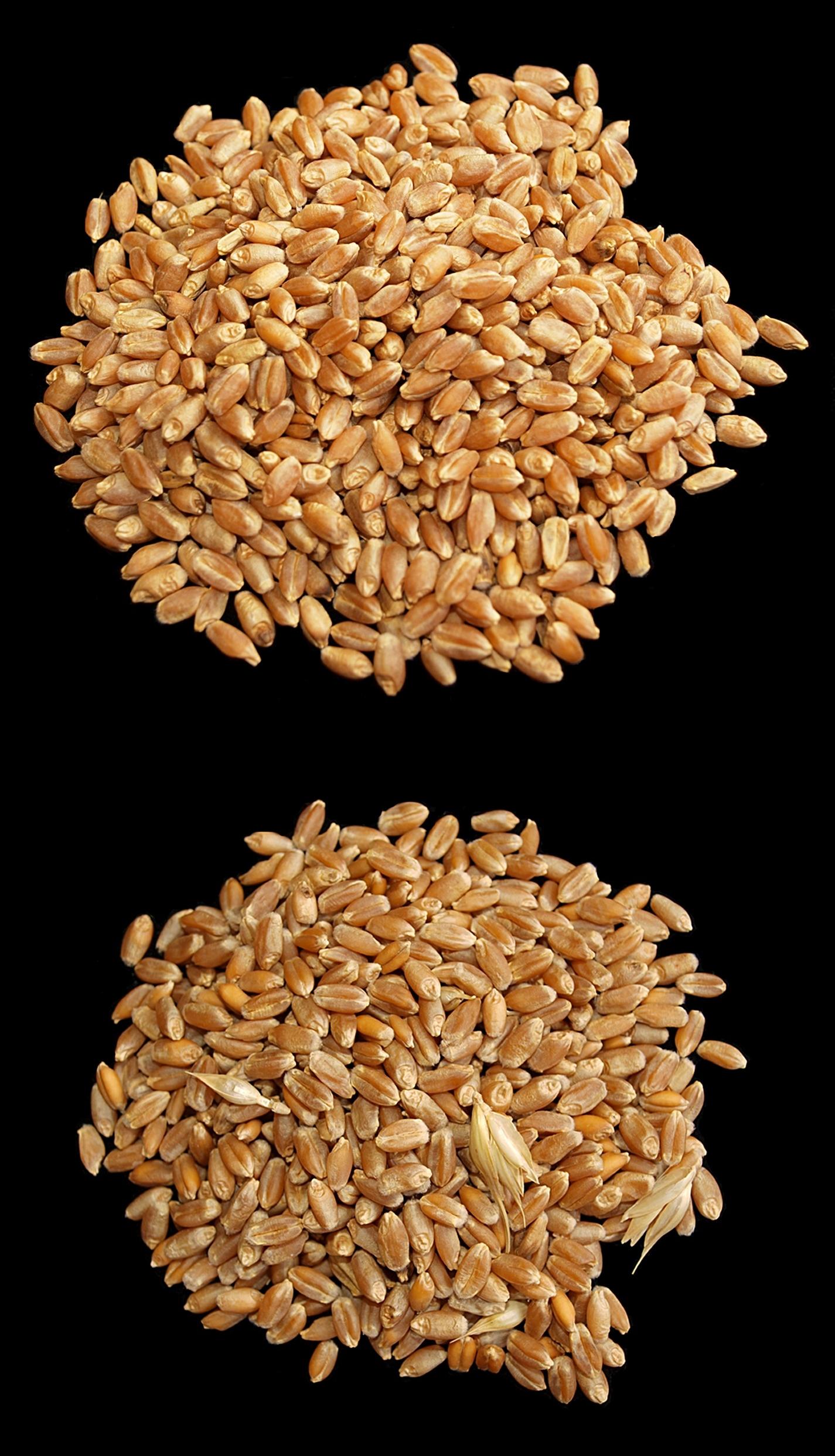 Alimentos con trigo y gluten